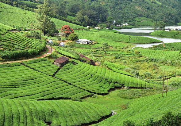 Flourishing-Tea-Plantations-Munnar