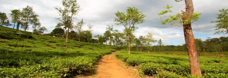 Wayanad_Tea_plantation
