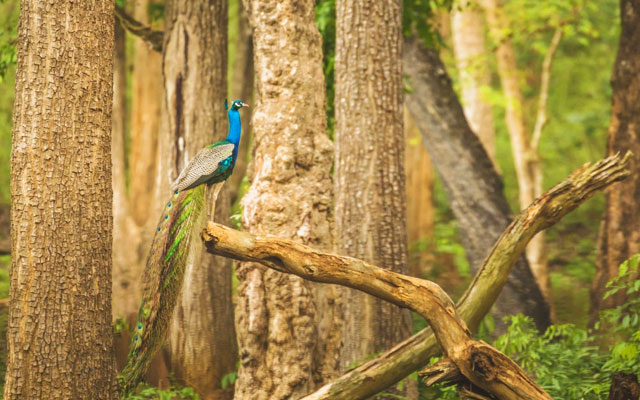 India's national bird Peacock in all its beauty at Nagarahole national park/forest.