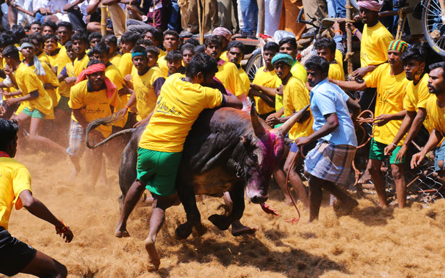 The festivities associated with the harvest festival of Pongal. The popular bull-taming sport Jallikattu is a bull taming event where a berserk bull is released into a crowd.