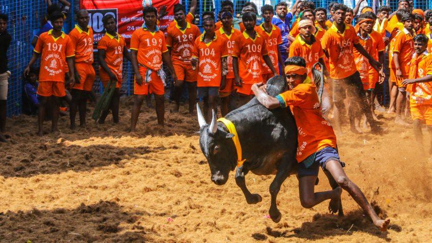 Competitors taking part in the bull taming sport of jallikattu on January in Tamil Nadu