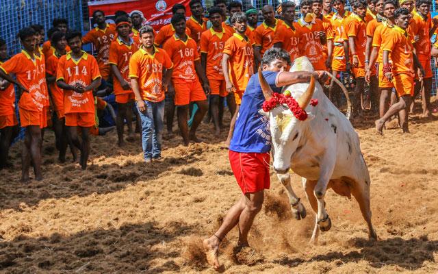 Competitors taking part in the bull taming sport of AVANYABURAM Jallikattu near Madurai in Tamil Nadu