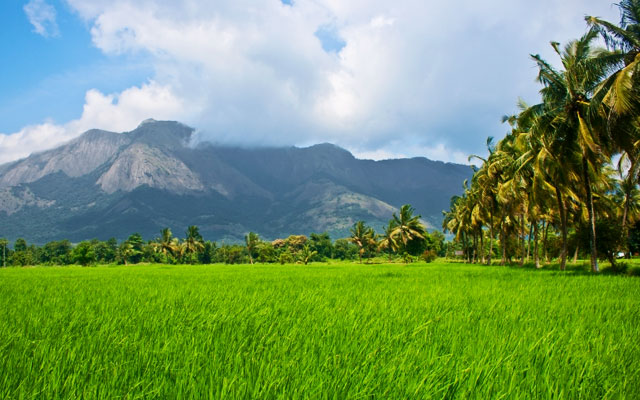 A beautiful view of paddy field with mountain on the backdrop in Palakkad
