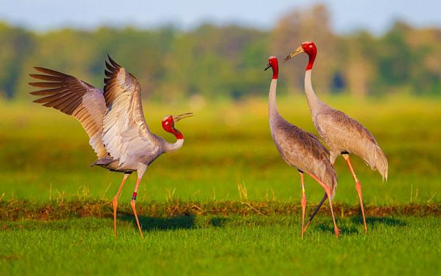 Three Eastern Sarus Crane (Grus antigone) playing in Vedanthangal Bird Sanctuary