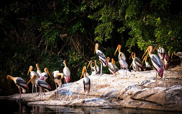 Painted Stroks birds in Thattekad Bird sanctuary