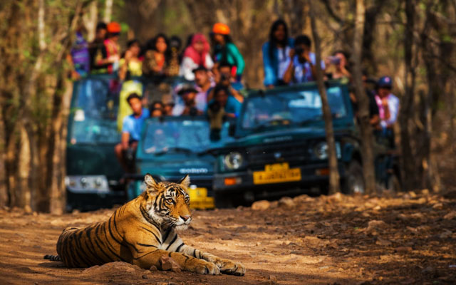 A wild male bengal tiger sitting on road and in background safari vehicles sighting this magnificent animal in open at Bandipur national park, Karnataka, India.