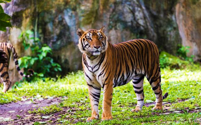 A bengal tiger in Annamalai Wildlife Sanctuary, Coimbatore.