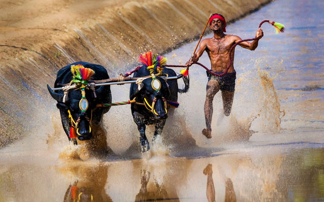Kambala festival buffalo race in Mangalore, India.