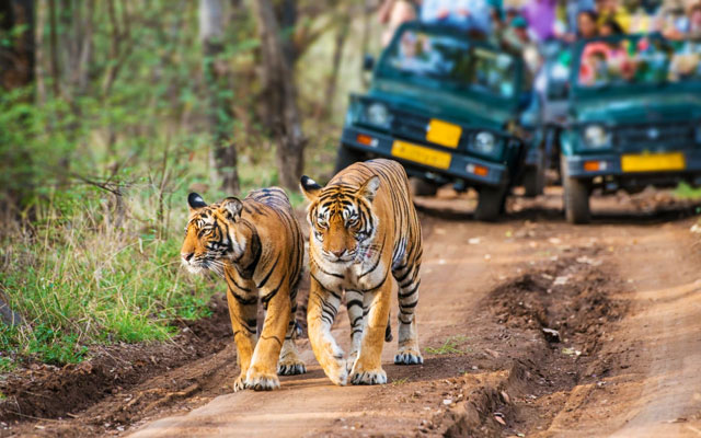 """Bengal tigers, also called """"Royal Tiger"""", walking on a road in the green jungle. In the background a car with tourists and photographers is visible."""