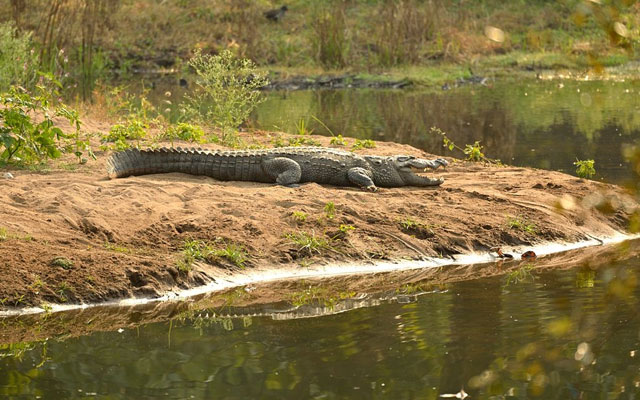 A Crocodile lies in the sun on a small beach in Bannerghatta National Park, Karnataka