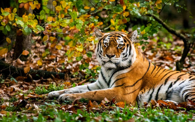 Close-up of tiger in the forest shows how its camouflage color and striped pattern works great in fall
