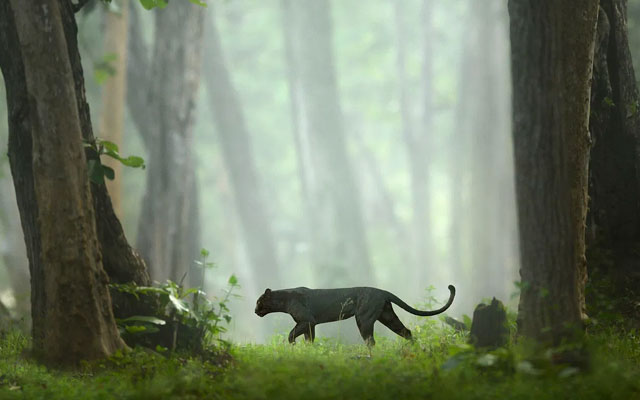 A rare picture of a endangered spices Black panther roaming in the Kabini forest.