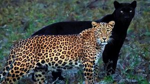 Saya black panther with his partner Cleopatra a leopard