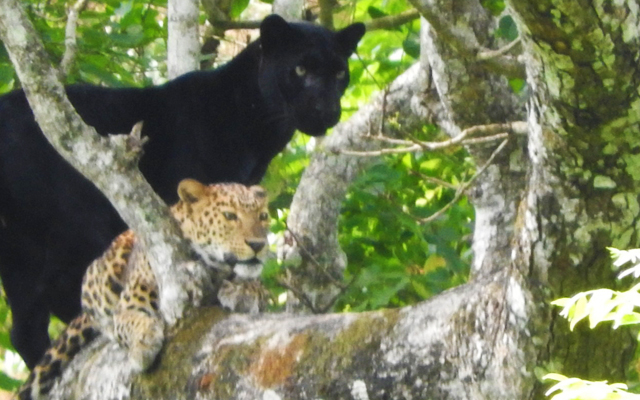 A rare picture of a Black Panther took during mating with a Leopard in Kabini forest.