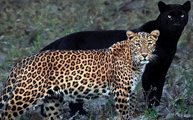 Wildlife Photographer Shares Rare Pic Of Black Panther & Leopard Couple In India's Kabini Forest