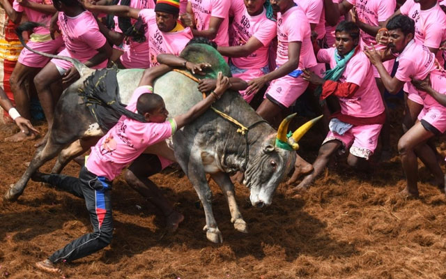 Indian participants try to control a bull at the annual bull-wrestling event 'Jallikattu' in Allanganallur village on the outskirts of Madurai in the southern state of Tamil Nadu
