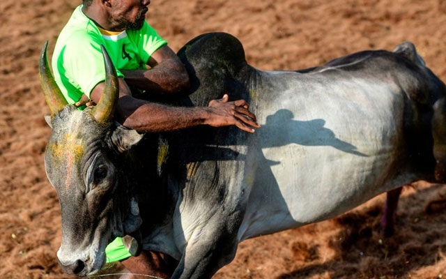 A participant tries to control a bull during Jallikattu in Palamedu village on the outskirts of Madurai.