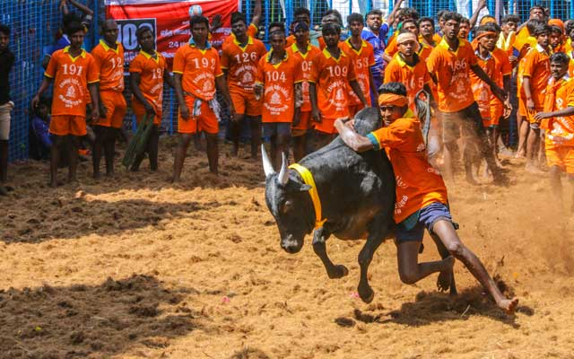 Competitors taking part in the bull taming sport of Jallikattu